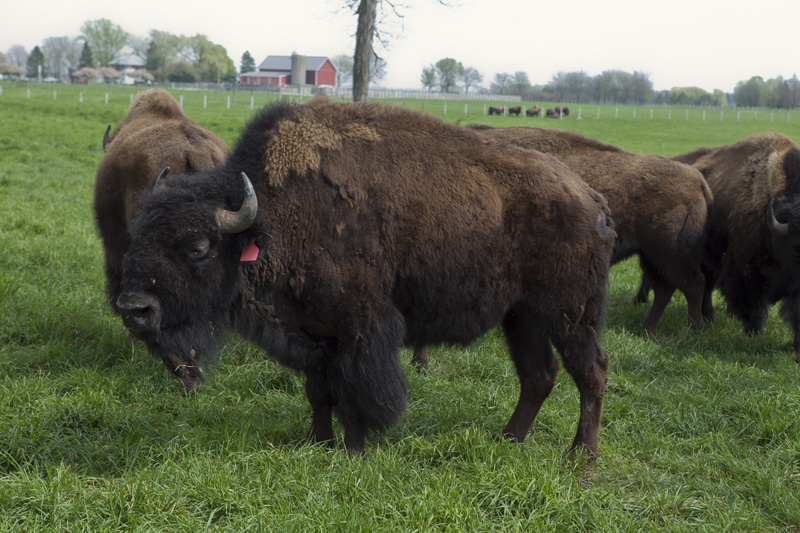 Fermilab bison