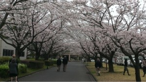 Meetings during cherry blossom time means coffee breaks are spent outside more often.